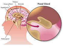 Free Pineal Gland Royalty Free Stock Photography - 45304917