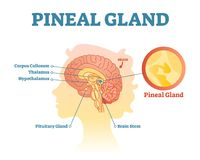 Pineal gland anatomical cross section vector illustration diagram with human brains. Medical information poster stock illustration