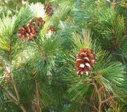 Pineals on a tree. Some pineals on a pinewood royalty free stock images