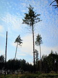 Pineand-Himmel Stockfotos