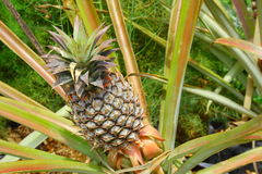Pineapple. Nature Tropical Pineapple In The Farm Stock Photography