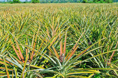 Pineapple. Garden in the afternoon, Thailand Royalty Free Stock Photos