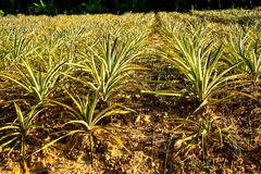 The pineapple. Agriculture is the cultivation of pineapple in Thailand Royalty Free Stock Photo