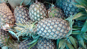 Pineapple. Ananas comosus, perennial herb with linear spirally arranged leaves at top and compact accessory fruit formed by coalescence of ovaries, used as royalty free stock image