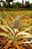 Pineapple. Plant with a  in Hawaii Royalty Free Stock Image