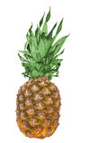 Pineapple. Fresh pineapple on a white background Royalty Free Stock Photography