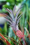Pineapple  (Ananas comosus) Royalty Free Stock Image
