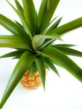 Pineapple (Ananas comosus) Stock Images