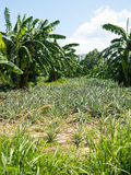 Pineapple and banana trees Stock Photography