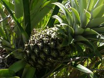 Pineapple Bush. Pinepple bush growing in Cuba Royalty Free Stock Photography
