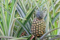 Pineapple on the bush Royalty Free Stock Photo