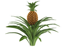 Pineapple bush Stock Image