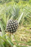 Pineapple crop Stock Photo