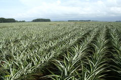 Pineapple farm royalty free stock photography