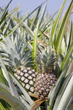 Pineapple farm Royalty Free Stock Photo