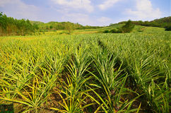 Free Pineapple Farm Royalty Free Stock Images - 25191329