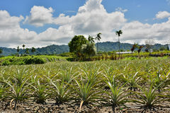 Pineapple farm Royalty Free Stock Photography