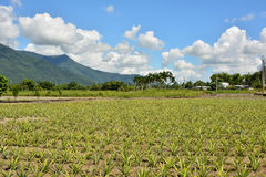 Pineapple farm Royalty Free Stock Image