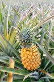 Pineapple farm Stock Images