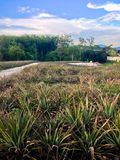 Pineapple farm Royalty Free Stock Photos