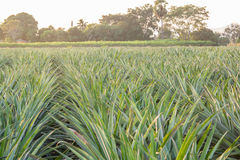 Pineapple farm Stock Image