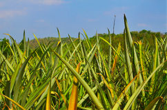 Pineapple farm , close up view Stock Photo
