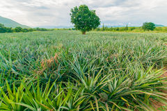 Pineapple farm , fruits field with beautiful sky. And cloud Royalty Free Stock Photography