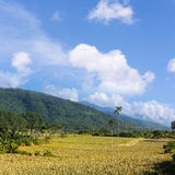 Pineapple farm Stock Photos