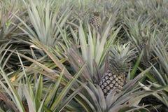 Pineapple farm Royalty Free Stock Photo