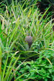 Pineapple farm. Pineapple of  plantation in thailand Royalty Free Stock Photos