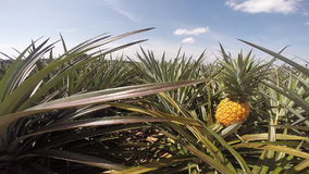 Pineapple farm Royalty Free Stock Images