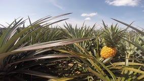 Pineapple farm. In summer season ,Eastern of Thailand stock video footage