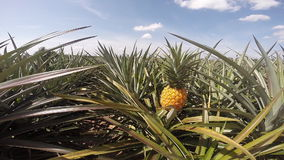 Pineapple farm. In summer season ,Eastern of Thailand stock footage