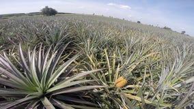 Pineapple farm. In summer season ,Eastern of Thailand stock video