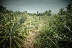 Pineapple farm in vintage color style Royalty Free Stock Images
