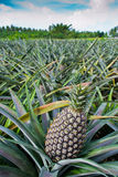 Pineapple farms. Stock Image