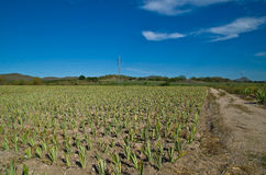 Pineapple farms Stock Image