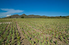 Pineapple farms Stock Photos