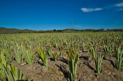 Pineapple farms Stock Images
