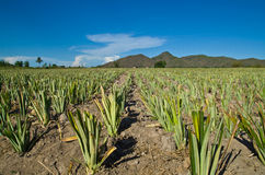 Pineapple farms Royalty Free Stock Image