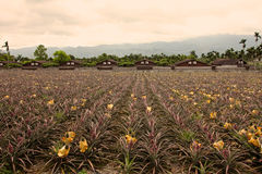 Pineapple Farms,Taiwan Stock Image