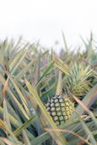 Pineapple in field -2 Stock Image