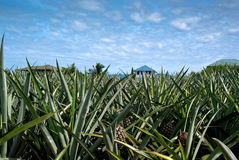 Pineapple field Stock Photo