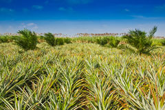 Pineapple field Royalty Free Stock Image