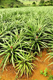 Pineapple field. Pineapples growing in a pineapple field royalty free stock photos