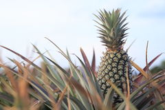 Pineapple in field -3 Stock Image