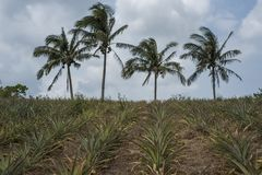 Pineapple field and coconut trees in the Philippines.  royalty free stock photo