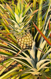 Pineapple in a field. Pineapple fruit in a field royalty free stock photography
