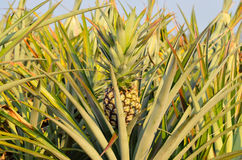 Pineapple in a field. Pineapple fruit in a field stock photography