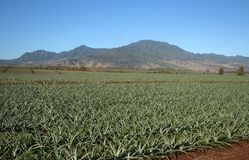Pineapple field landscape Hawaii Stock Photo